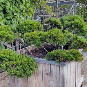 Kaeaepioe-bonsai-2